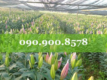 Lưới che nắng vườn hoa ly