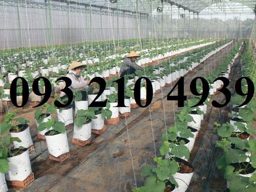 Nhà lưới trồng dưa lưới