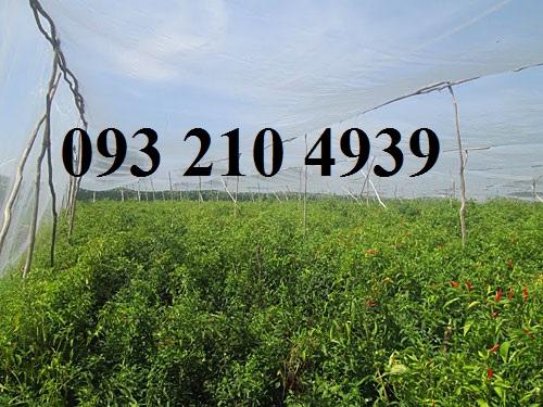 Nhà lưới trồng ớt ở Tiền Giang