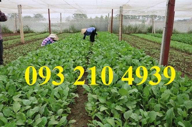 Trồng rau cải ăn lá trong nhà lưới