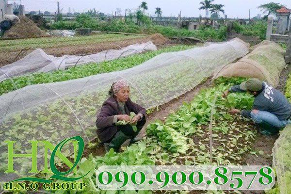 Lưới mùng phủ luống rau cải