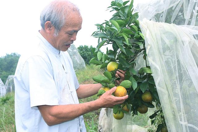 Kiểm tra cam trước khi thu hoạch