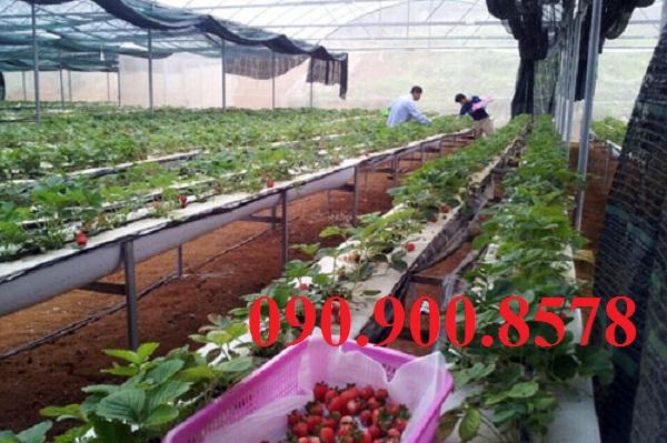 Lưới che vườn dâu tây