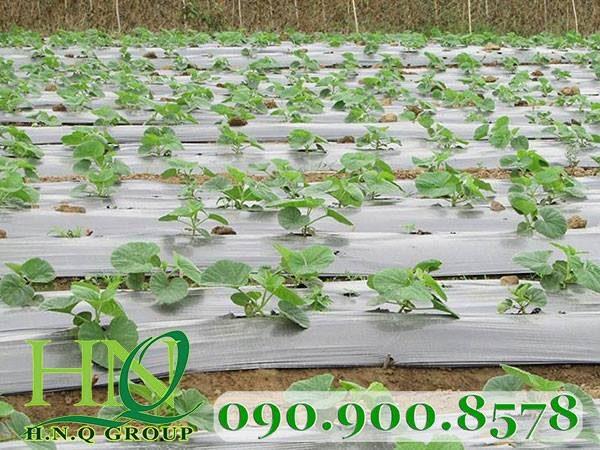 Màng phủ nông nghiệp PE đen 15 micro