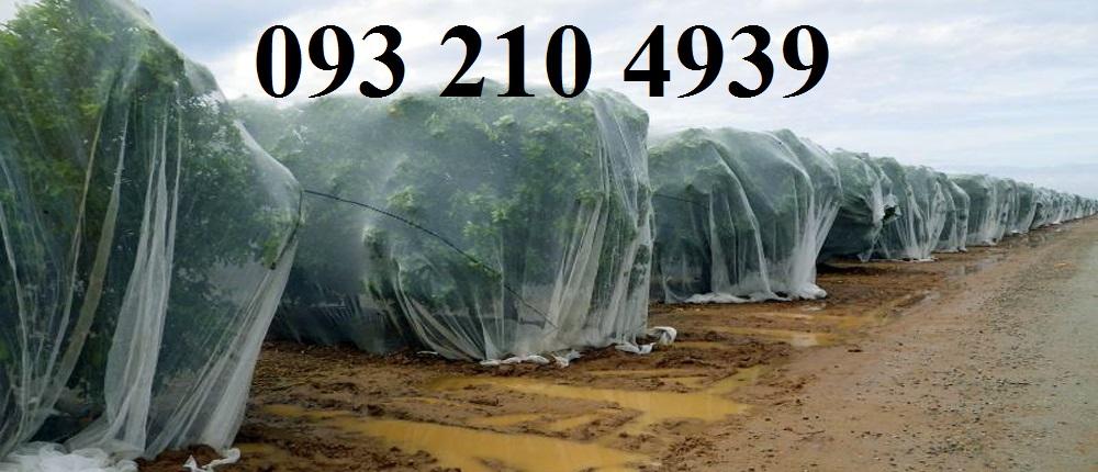 Căng lưới mùng chống ruồi vàng cho táo ngọt