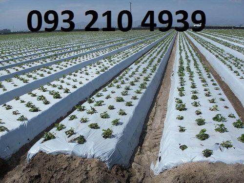Màng phủ trồng khoai tây