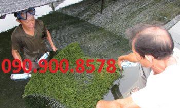 Lưới che nắng trồng rong nho ở Ninh Thuận
